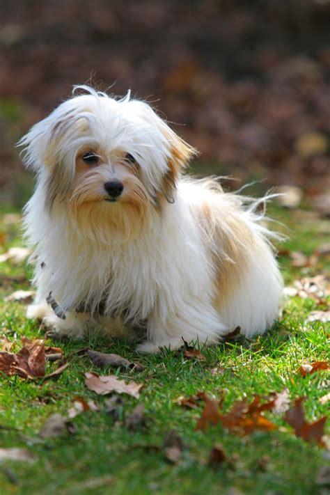 a havanese 1000 images about havanese haircuts on names central park and happy dogs