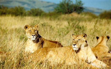 imagenes leones selva wallpapers de leones fondos de pantalla de leones