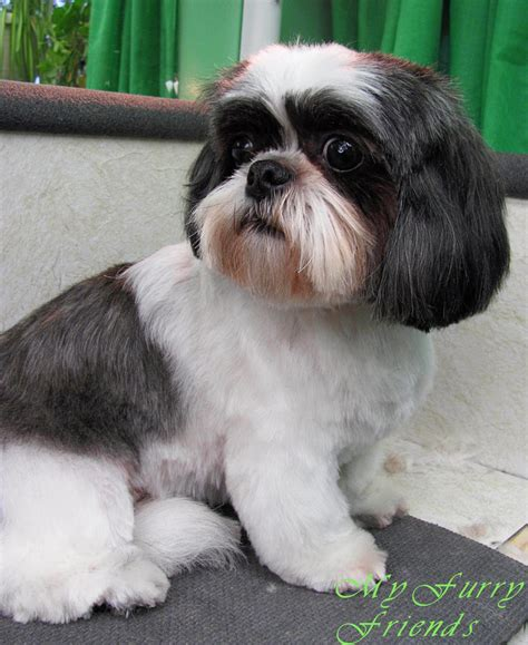 shih tzu with cut hairstyles for shih tzu dogs pets newhairstylesformen2014