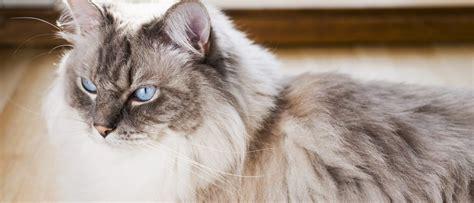 ragdoll que significa ragdoll todo sobre esta raza de felino