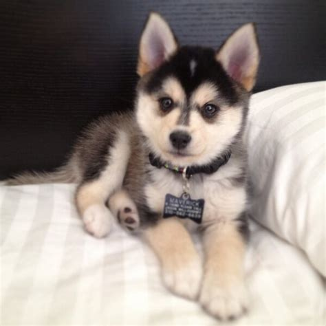 forever puppy husky a husky that says small forever pomsky pet