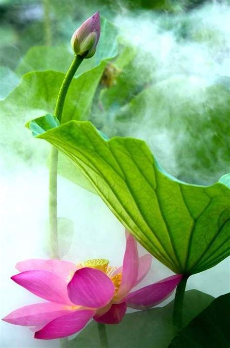 top 28 are lotus flowers poisonous sun flower and