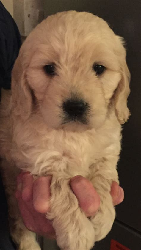goldendoodle puppies for sale in essex miniature f1 golden doodles basildon essex pets4homes