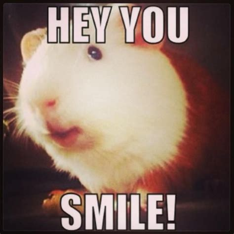 Weird Smile Meme - 50 best images about guinea pig silliness on pinterest