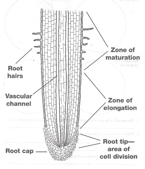 root structure diagram seeds and roots 7 team
