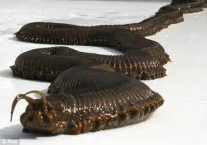 Barry the giant sea worm discovered by aquarium staff after mysterious