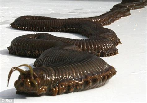 Cacing Aquarium cacing laut raksasa yang muncul secara misterius di sebuah