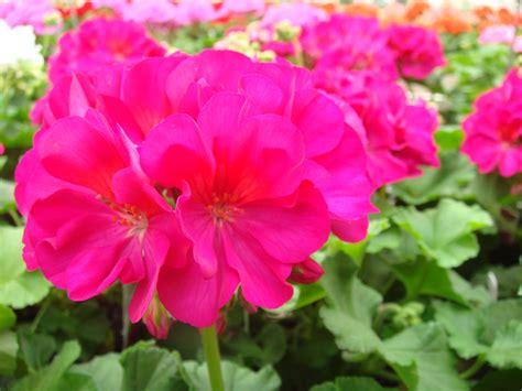 geraniums egan gardens