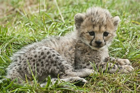 cheetah cub cheetah cub 273 11a by haywood photography on deviantart