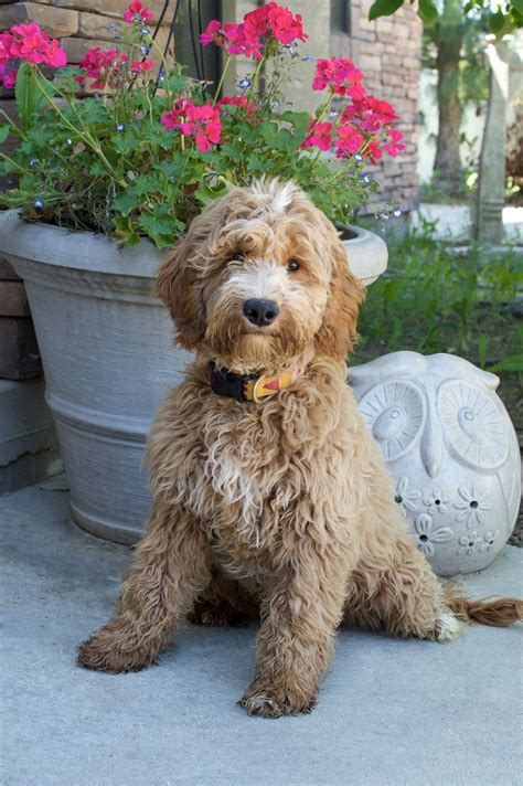 goldendoodle puppy idaho s goldendoodles