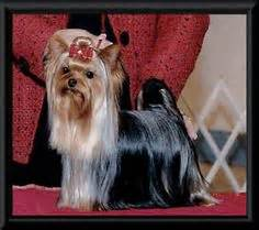 teacup yorkies for sale in kansas city missouri 1000 images about yorkie on yorkies terrier and yorkie dogs