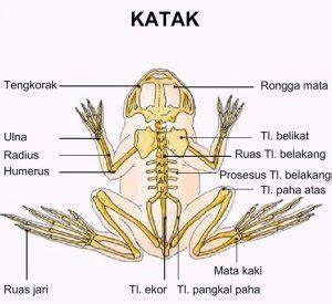 Alat Pernapasan Anak Katak Atau Berudu sistem rangka katak ramacahyati