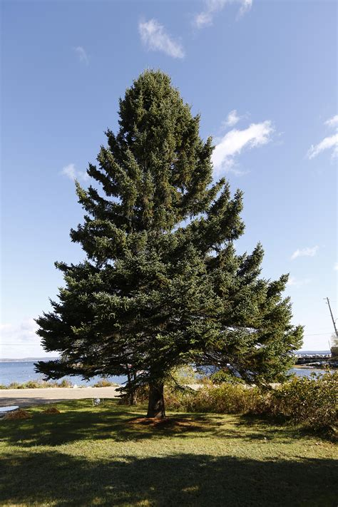 nova scotian donates christmas tree for boston haligonia ca