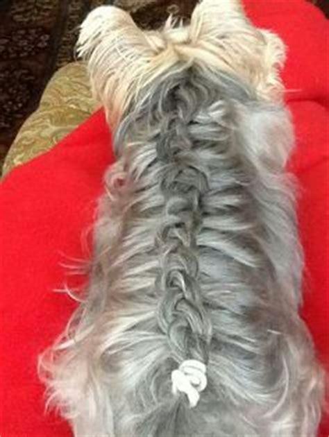 shih tzu braids 1000 images about shihtzu haircuts on shih tzu haircuts and shih tzu