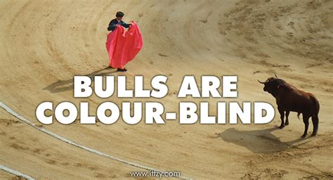 are bulls color blind the amazing and strange