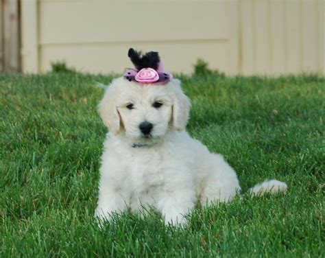 goldendoodle puppies for sale vancouver goldendoodle puppies sale portland vancouver wa