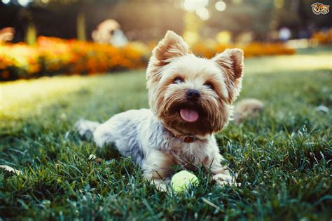Yorkshire Terrier Dog Breed Information, Buying Advice