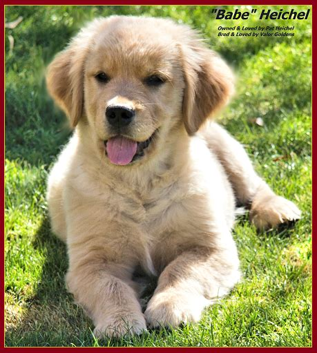 valor golden retriever babe3 valor goldens