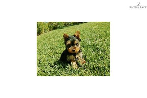 tiny yorkies for sale in san diego terrier yorkie puppy for sale near san diego california 34bbaaf7 9f11