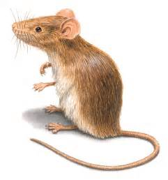 mouse images rodent pictures rat mouse photos images