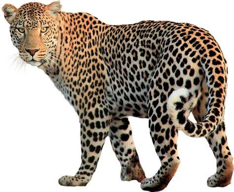 domain leopard image the graphics photo gratuite isol 233 des animaux l 233 opard cat image