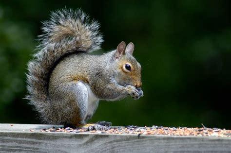 scogliattolo volante scoiattolo grigio vietata la vendita l intruso
