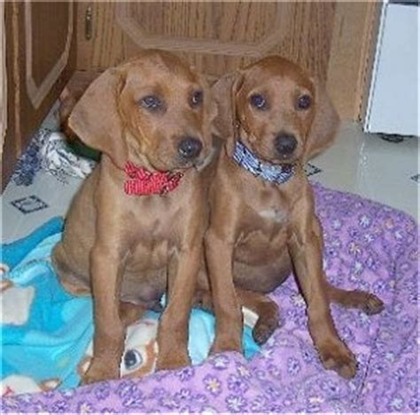 redbone coonhound puppies redbone coonhound breed pictures 2