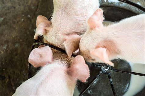 9 Tips On Raising by 9 Tips For Raising Healthy Pigs Survival