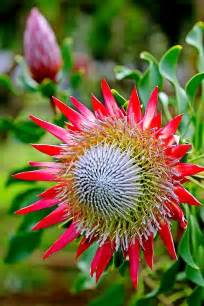 protea flower king protea the national flower of south africa and part of the 2700 species found in the