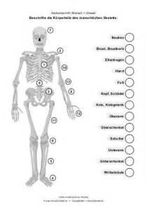 sanitätsausbildung arbeitsblatt das menschliche skelett sanit 195 164 tsausbildung