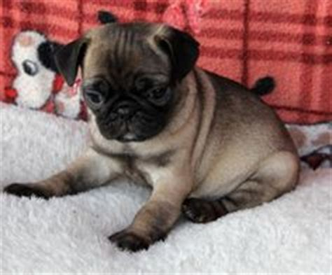 pug x fox terrier fox terriers pug and terriers on