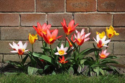 havenytdk tulipaner er havens forarspryd og det er nu