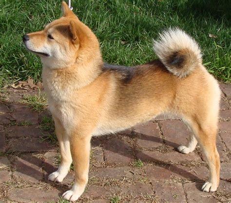 shiba inu shiba inu puppies rescue pictures information temperament price animals breeds