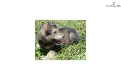 golden retriever cross husky puppies for sale adopt a siberian husky puppy for golden retriever siberian husky cross