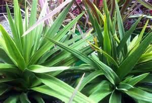 Zone Tropical Plants - cordyline australis kirkii cordyline kirkii plant photos amp information