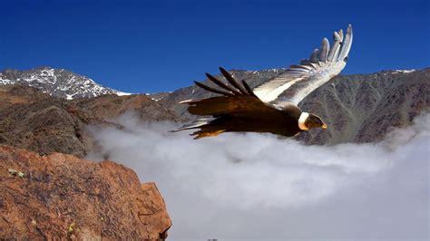 Condor  Guia de Fauna  RutaChile