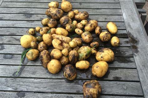 kartoffeln im garten kartoffeln im garten pflanzen und ernten