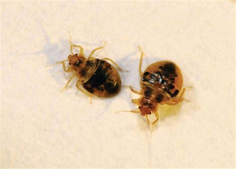 bed bug fumigation bed bug exterminator riverside ca bedbug removal