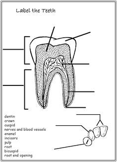 diagram of a tooth to label 1000 images about apologia anatomy on