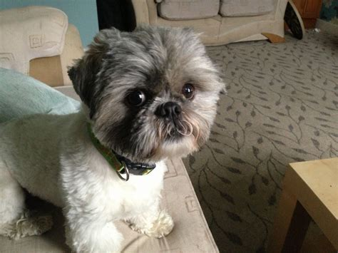 shih tzu haircut styles pictures shih tzu haircuts for boys hairstylegalleries