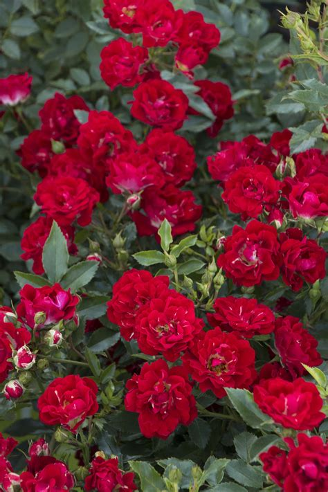 drift roses drift 174 thetreefarm