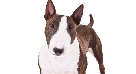bull terrier puppies rescue pictures information miniature bull terrier dog breed information american