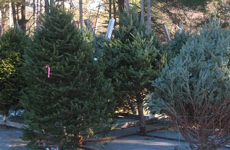 christmas tree sales