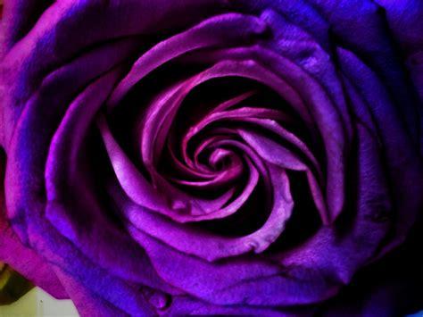 imagenes rosas violetas imagen de rosa violeta foto gratis