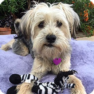 maltese yorkie mix rescue kevin adopted san diego ca yorkie