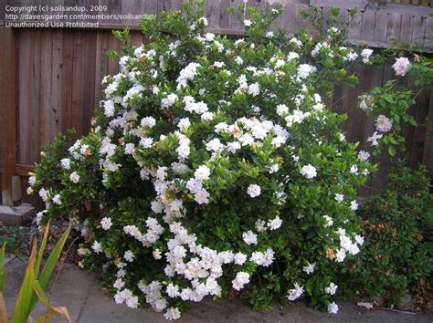 Gardenia Proof Specialty Gardening Proof Gardenia 1 By Soilsandup