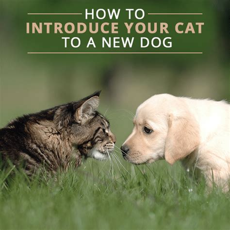 how to introduce a new puppy to a cat how to introduce your cat to a new ms