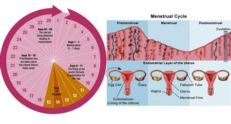 how is a s gestation menstrual cycle pregnancy
