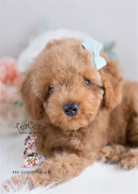 dogs for sale cumbria toy for dog toy for dog teacup and toy poodle puppies teacups puppies boutique
