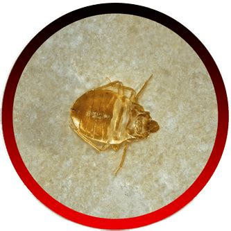 bed bugs los angeles pest control best pest control service in ventura county